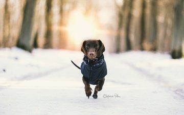 snow, winter, background, dog, dachshund, running