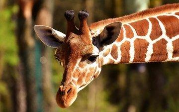 морда, животное, жираф, голова, рожки, шея