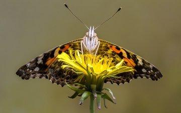 макро, насекомое, цветок, бабочка, одуванчик, sophiaspurgin, бабочка.одуванчик