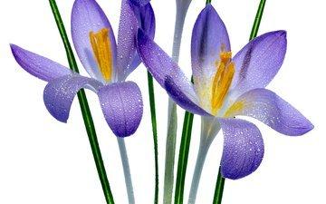 цветок, фиолетовый, весна, дождь, белый фон, ирисы, ирис, sophiaspurgin