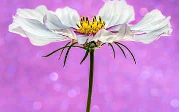 фон, цветок, белый, розовый, боке, космея, sophiaspurgin