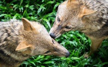 трава, природа, хищник, волки, волк