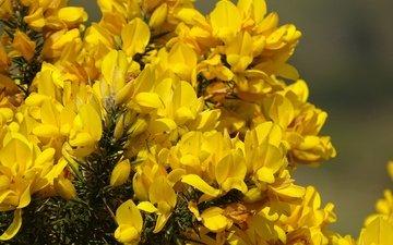 цветение, весна, желтые цветы