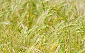 nature, macro, field, ears, wheat