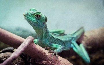 природа, парк, ящерица, животное, зеленая, рептилия, малайзия