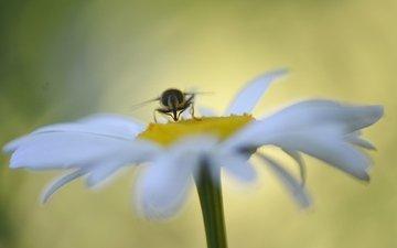 макро, насекомое, цветок, ромашка, муха