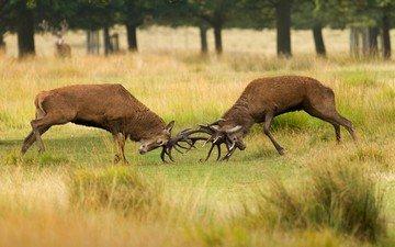 трава, деревья, природа, олень, борьба, рога, олени