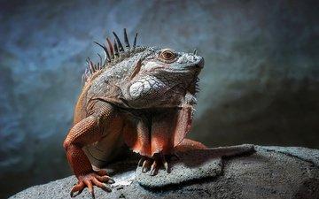 ящерица, камень, рептилия, игуана