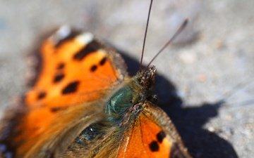 насекомое, бабочка, тень, крылышки