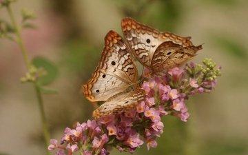 цветок, насекомые, бабочки, white peacock butterfly