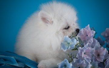 цветы, белый, собака, щенок, гортензия, шпиц