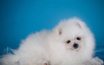 глаза, мордочка, взгляд, белый, собака, щенок, шпиц