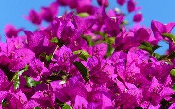 цветы, цветение, растение, бугенвиллея
