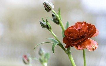 цветы, бутоны, красный, ранункулюс, лютик