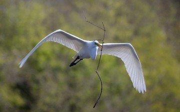 branch, flight, wings, bird, beak, feathers, heron, white egret