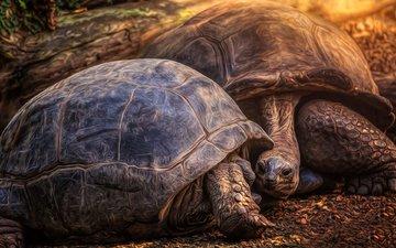 черепаха, панцирь, черепахи, пресмыкающееся