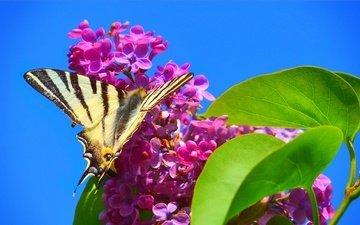 цветение, макро, насекомое, бабочка, весна, сирень