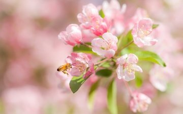 flowering, macro, insect, cherry, bee, flowers, bokeh