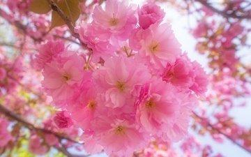 цветы, цветение, ветки, весна, сакура