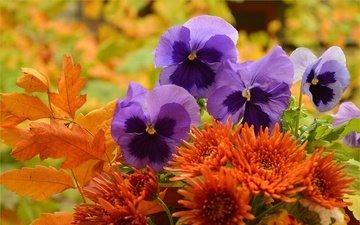цветы, листья, осень, букет, цветочки, анютины глазки, фиалка трёхцветная