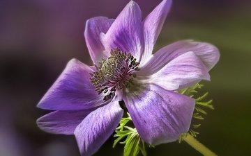 цветок, лепестки, анемона, ветреница, gerard holtslag