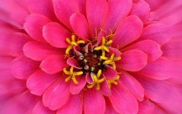 макро, цветок, лепестки, розовый, цинния