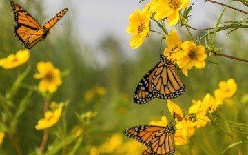 цветы, бабочка, насекомые, бабочки, растение
