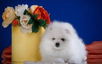 цветы, белый, порода, шпиц