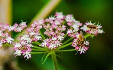 цветы, природа, растения, насекомое, фон, муха, боке, боке цветы