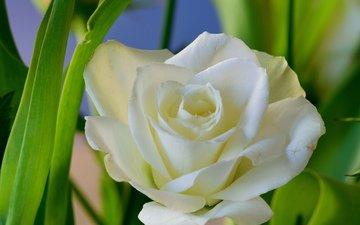 цветы, фон, роза, белая