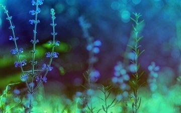 цветы, природа, растения, фон, голубые, цикорий, цикорий обыкновенный