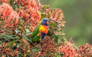 цветы, кусты, птица, попугай, боке, лорикет, многоцветный лорикет