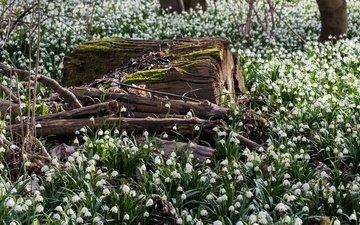 цветы, лес, поляна, весна, подснежники