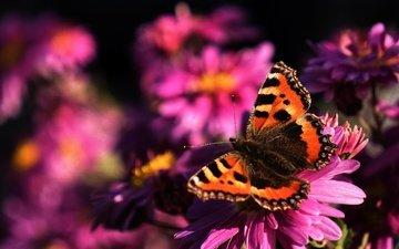 цветы, макро, насекомое, бабочка, крылья, усики, флора