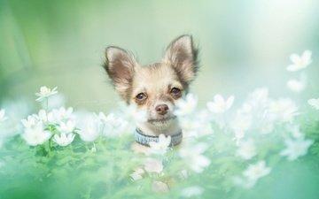 цветы, мордочка, взгляд, собака, чихуахуа