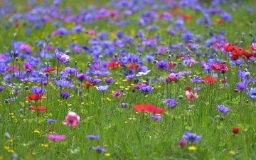 цветы, трава, поле, лето, полевые цветы, анемоны