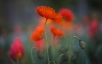 цветы, природа, красные, маки