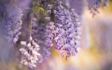 цветы, природа, весна, глициния, вистерия