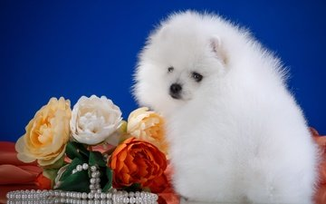 flowers, fluffy, white, breed, necklace, spitz