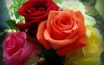 цветы, розы, разноцветные