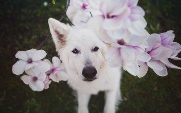 глаза, цветы, взгляд, собака, белая, nanook