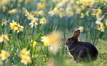 цветы, весна, кролик, животное, нарциссы, заяц