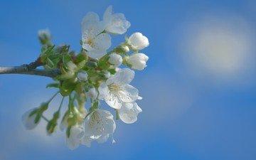 небо, цветы, цветение, фон, весна, вишня