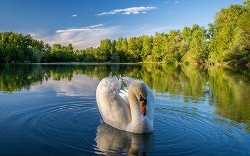деревья, озеро, природа, отражение, пейзаж, птица, лебедь