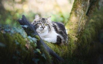 дерево, кот, мордочка, усы, кошка, взгляд, мох, пушистая