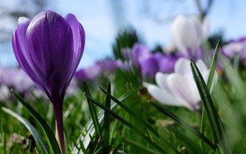 цветы, фиолетовый, весна, крокус