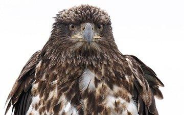 фон, орел, птица, клюв, перья, белоголовый орлан