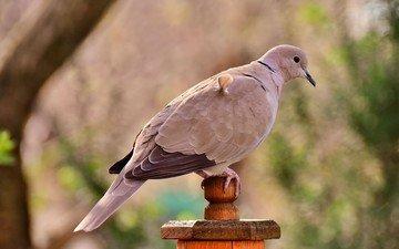 птица, клюв, перья, голубь