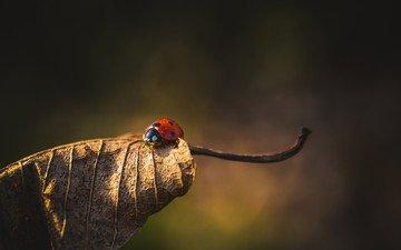 природа, жук, насекомое, фон, лист, божья коровка, сухой лист