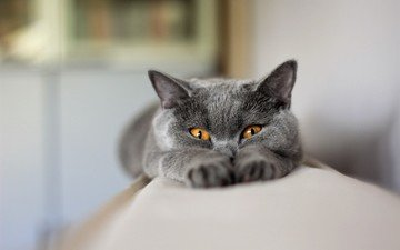 глаза, кот, кошка, взгляд, животное, британец